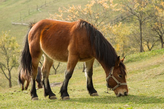 Abdominal Abscesses in Horses - Symptoms, Causes, Diagnosis, Treatment, Recovery, Management, Cost