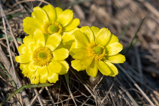 Adonis Poisoning in Horses - Symptoms, Causes, Diagnosis, Treatment, Recovery, Management, Cost