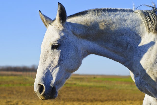Allergic Dermatitis in Horses - Symptoms, Causes, Diagnosis, Treatment, Recovery, Management, Cost