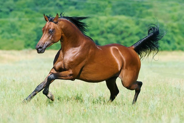 Amyloidosis in Horses - Symptoms, Causes, Diagnosis, Treatment, Recovery, Management, Cost