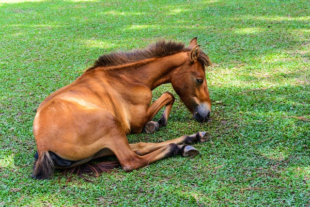 Aneurysm in Horses - Symptoms, Causes, Diagnosis, Treatment, Recovery, Management, Cost