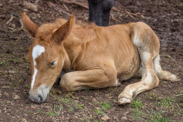 Angular Limb Deformities (Foals) in Horses - Symptoms, Causes, Diagnosis, Treatment, Recovery, Management, Cost
