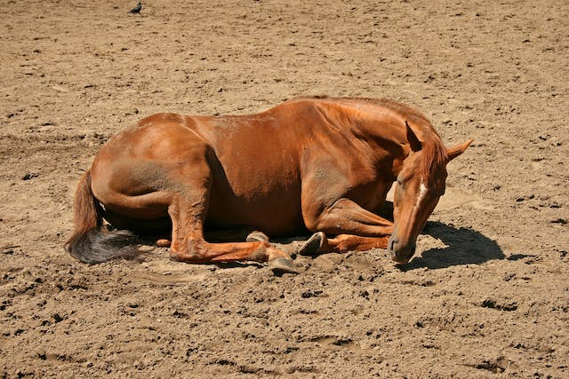 Aortoiliac Thrombosis in Horses - Symptoms, Causes, Diagnosis, Treatment, Recovery, Management, Cost