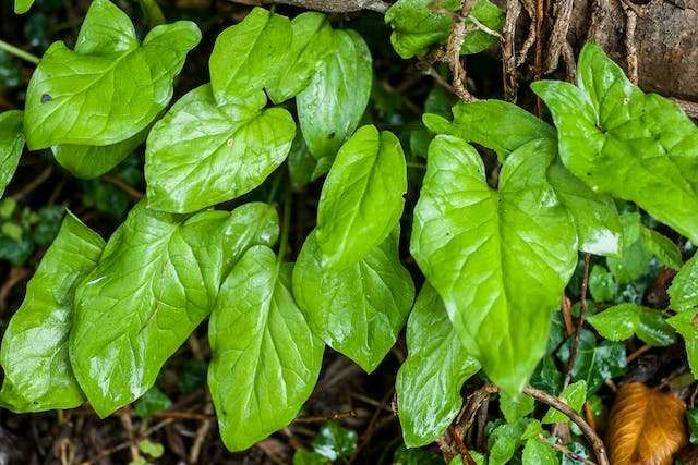 Arum Poisoning in Horses - Symptoms, Causes, Diagnosis, Treatment, Recovery, Management, Cost