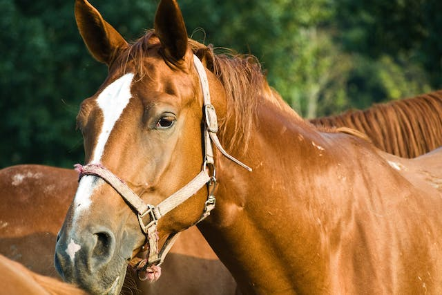 Arytenoidectomy in Horses - Conditions Treated, Procedure, Efficacy, Recovery, Cost, Considerations, Prevention