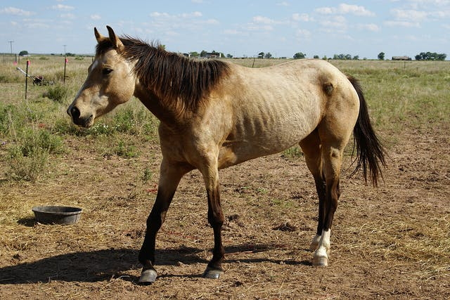 Aspiration Pneumonia in Horses - Symptoms, Causes, Diagnosis, Treatment, Recovery, Management, Cost