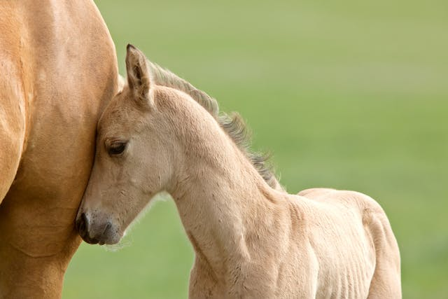 Assisted Reproduction Techniques in Horses - Conditions Treated, Procedure, Efficacy, Recovery, Cost, Considerations, Prevention