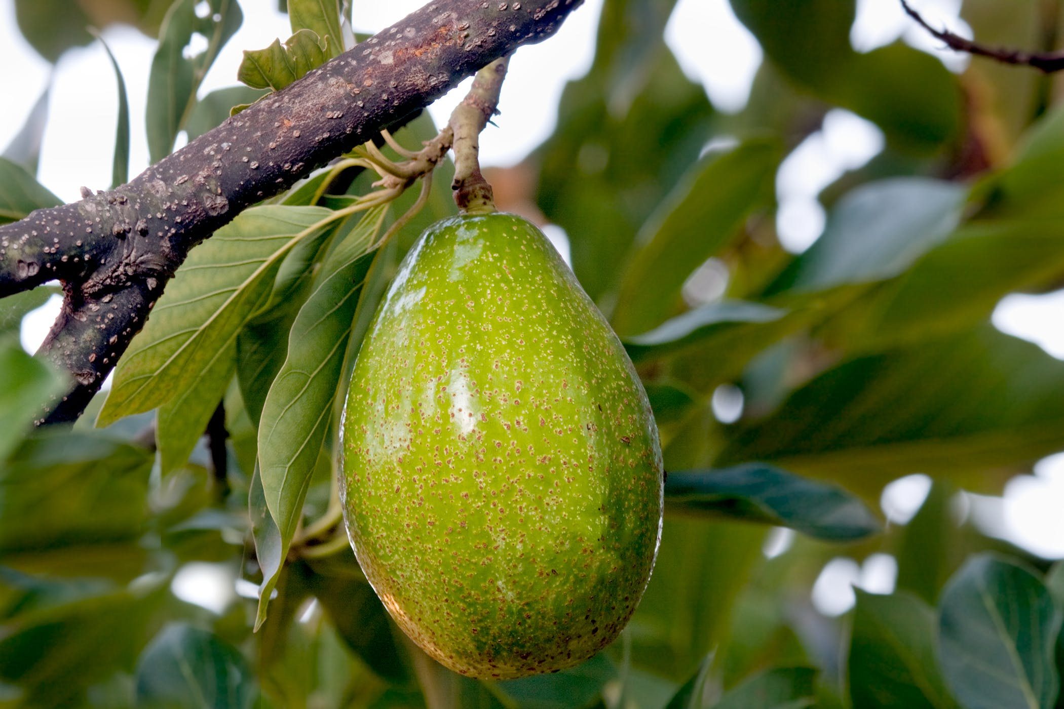 Avocado Tree Poisoning In Horses Symptoms Causes Diagnosis