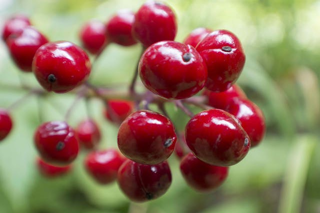 Baneberry Poisoning in Horses - Symptoms, Causes, Diagnosis, Treatment, Recovery, Management, Cost