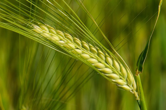 Barley Allergy in Horses - Symptoms, Causes, Diagnosis, Treatment, Recovery, Management, Cost