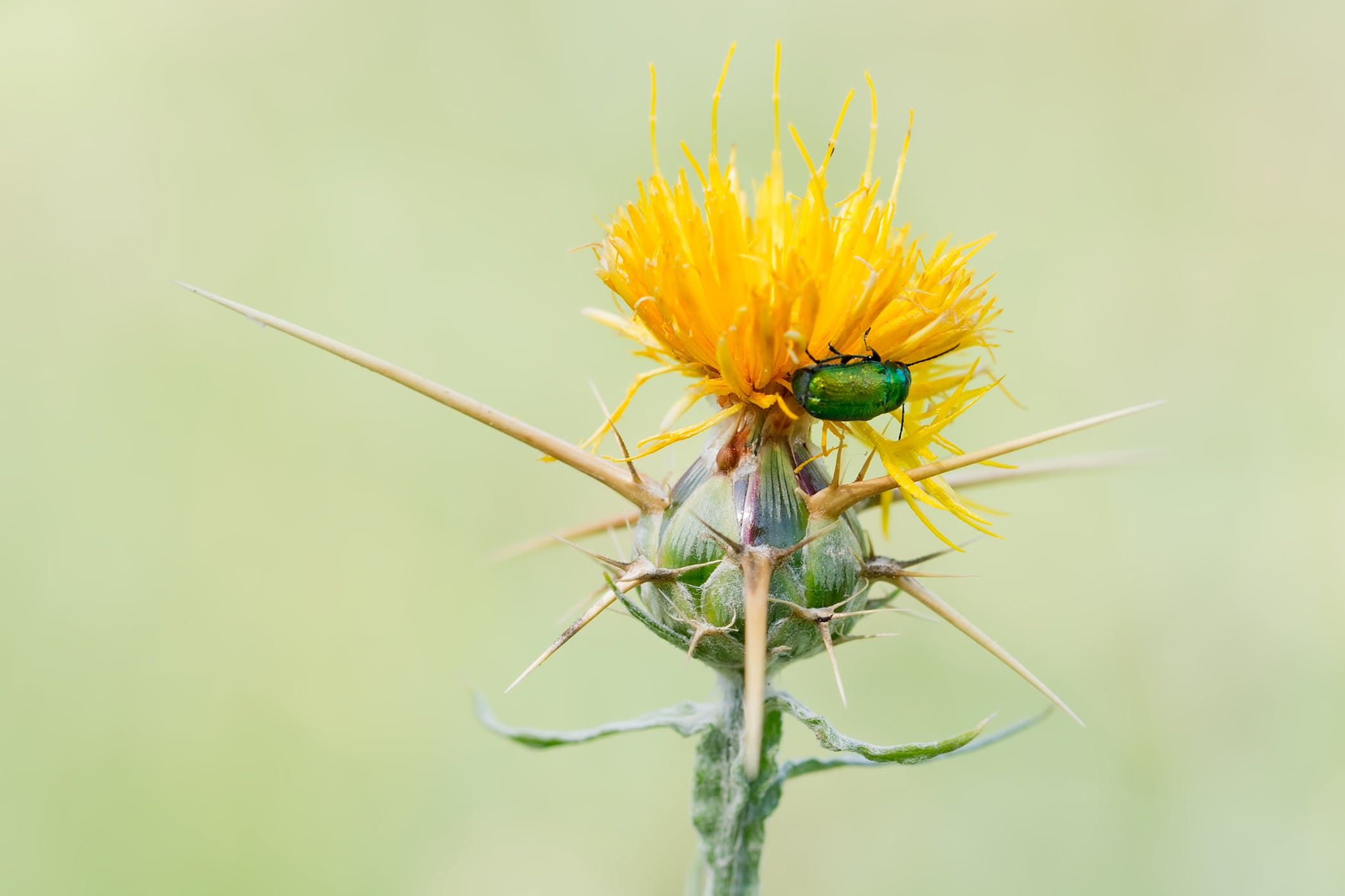 Barnabys Thistle Poisoning In Horses Symptoms Causes Diagnosis