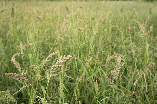 Barnyard Grass Poisoning in Horses - Symptoms, Causes, Diagnosis, Treatment, Recovery, Management, Cost
