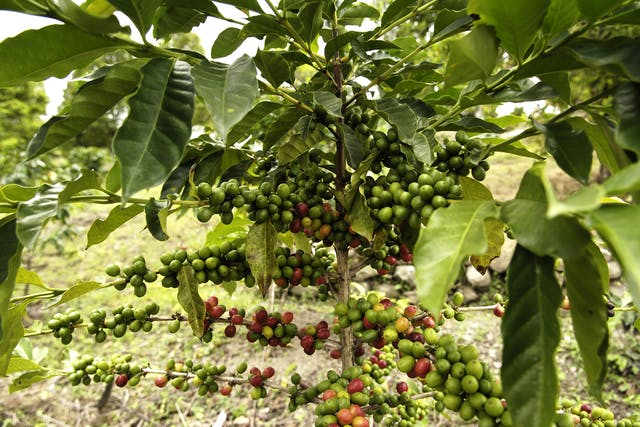 Black Bean Tree Poisoning in Horses - Symptoms, Causes, Diagnosis, Treatment, Recovery, Management, Cost