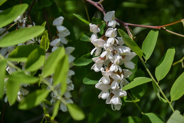Black Locust Tree Poisoning in Horses - Symptoms, Causes, Diagnosis, Treatment, Recovery, Management, Cost