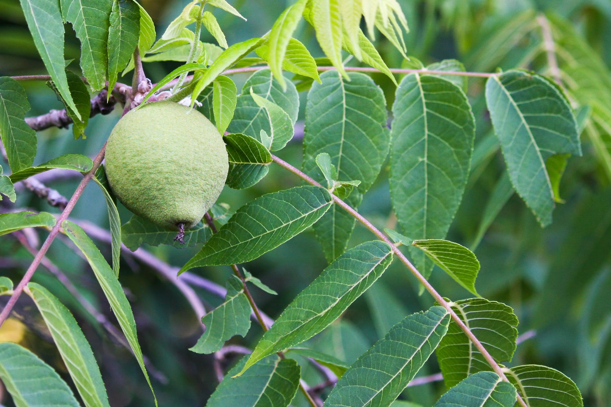 Black Walnut Tree Poisoning In Horses Symptoms Causes