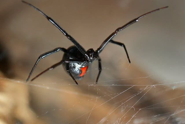 Black Widow Spider Bite in Horses - Symptoms, Causes, Diagnosis, Treatment, Recovery, Management, Cost