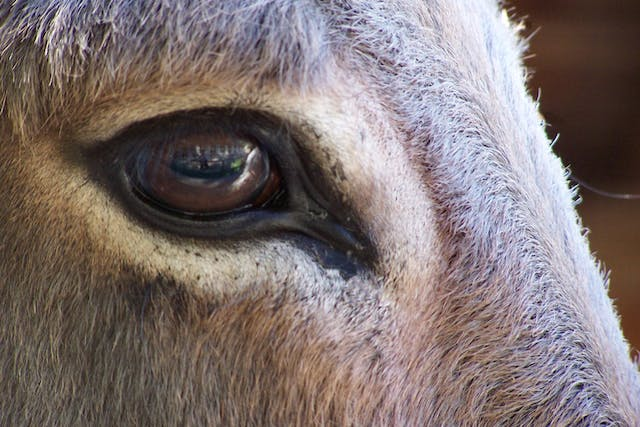 Blepharoplasty in Horses - Conditions Treated, Procedure, Efficacy, Recovery, Cost, Considerations, Prevention