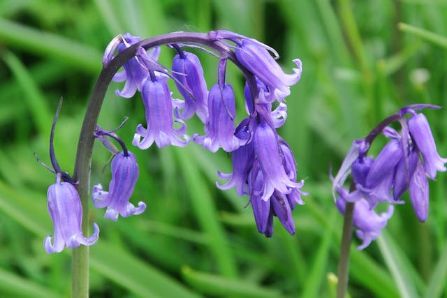 Bluebell Poisoning in Horses - Symptoms, Causes, Diagnosis, Treatment, Recovery, Management, Cost