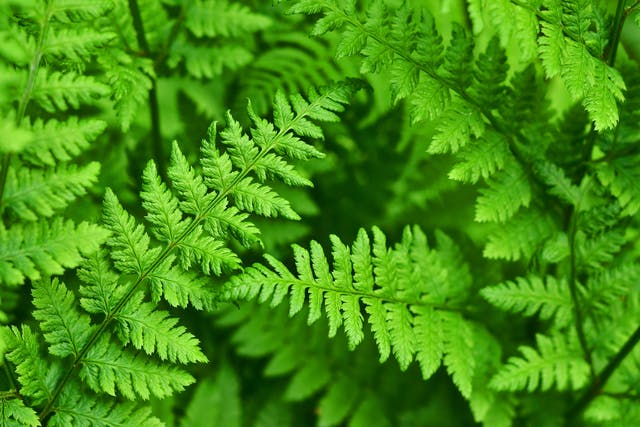Bracken Poisoning in Horses - Symptoms, Causes, Diagnosis, Treatment, Recovery, Management, Cost