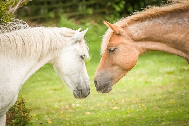 Breeding (Stallion) in Horses - Symptoms, Causes, Diagnosis, Treatment, Recovery, Management, Cost