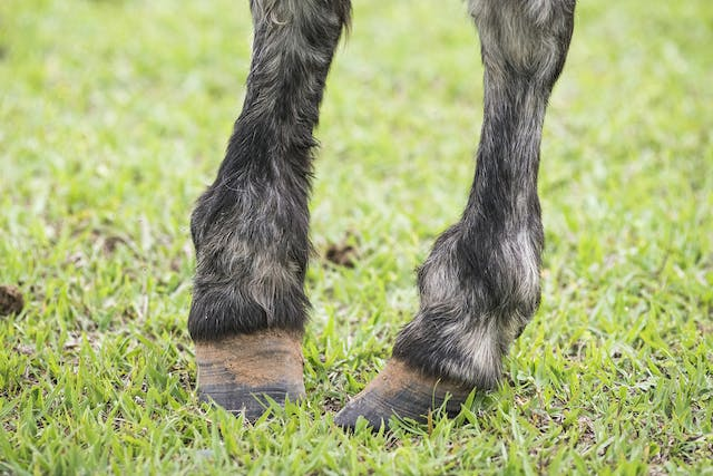 Brittle Hooves in Horses - Symptoms, Causes, Diagnosis, Treatment, Recovery, Management, Cost