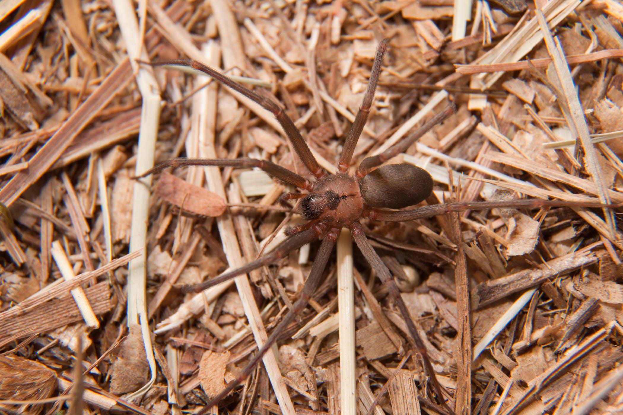Recluse Spider Bite in Horses Symptoms Causes Diagnosis