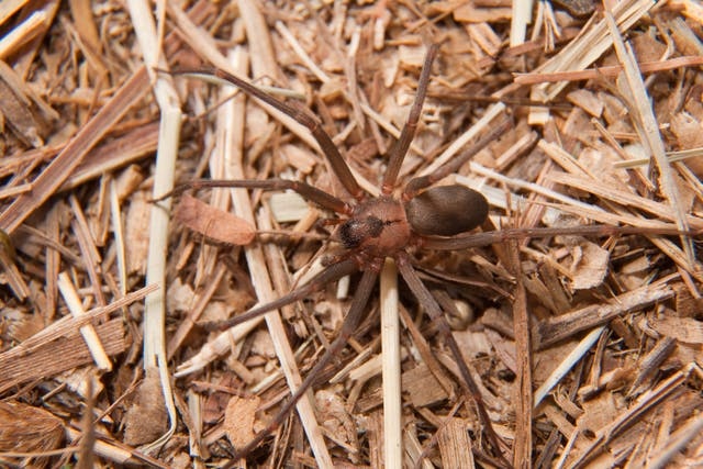 Brown Recluse Spider Bite in Horses - Symptoms, Causes, Diagnosis, Treatment, Recovery, Management, Cost