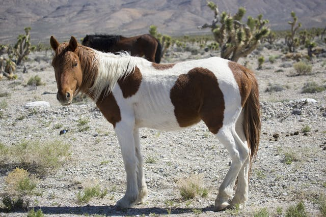 Calcium Deficiency in Horses - Symptoms, Causes, Diagnosis, Treatment, Recovery, Management, Cost
