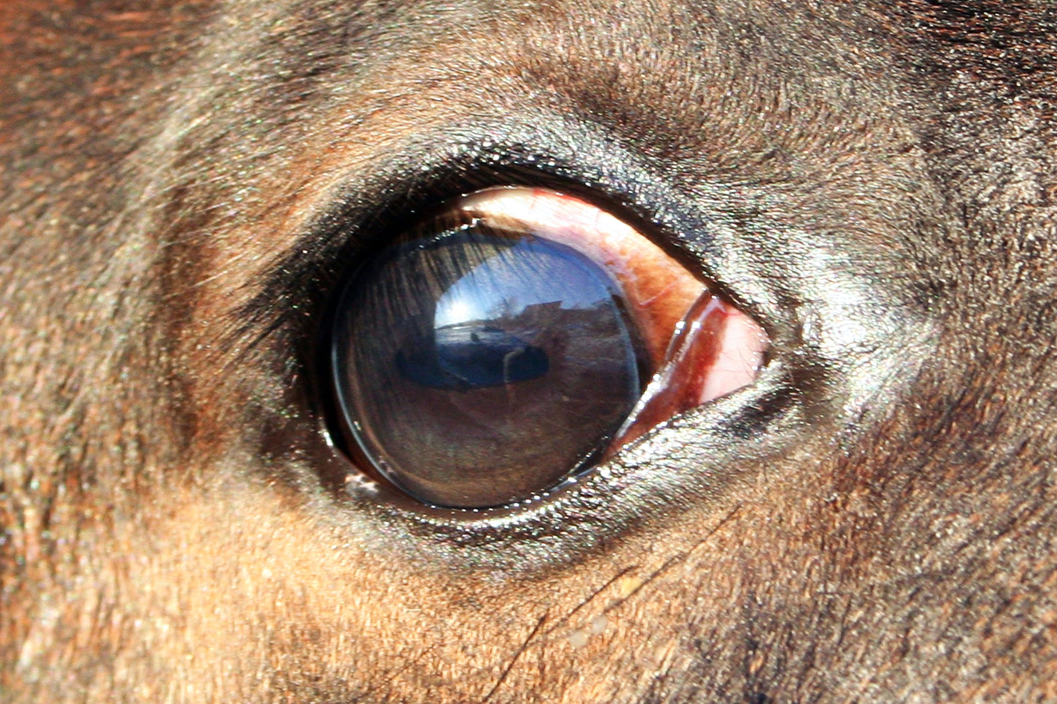 Cancers and Tumors of the Eye in Horses - Symptoms, Causes