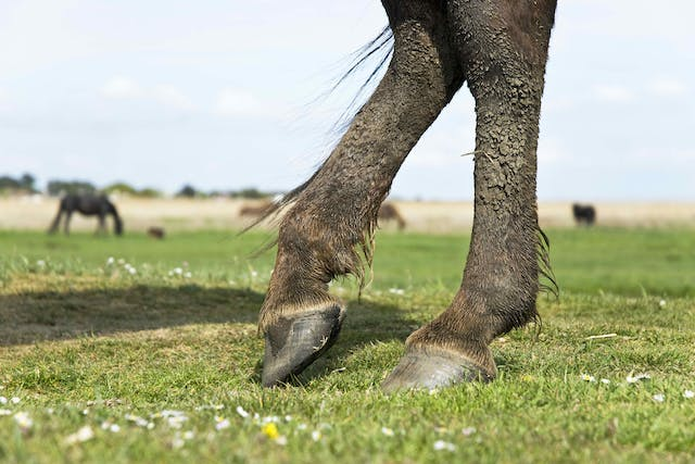 Capped Hock in Horses - Symptoms, Causes, Diagnosis, Treatment, Recovery, Management, Cost