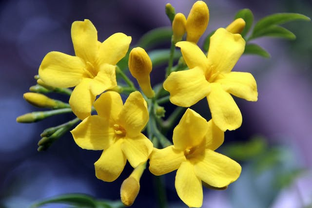 Carolina Jessamine Poisoning in Horses - Symptoms, Causes, Diagnosis, Treatment, Recovery, Management, Cost