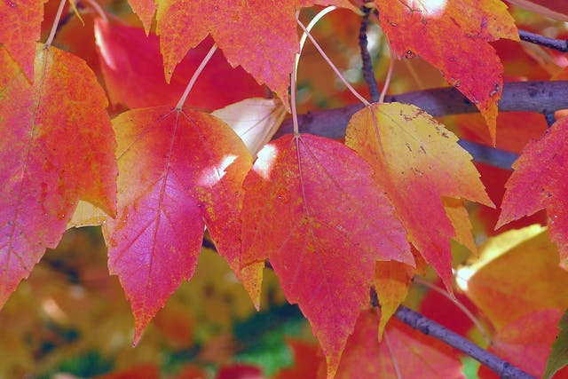 Carolina Maple Poisoning in Horses - Symptoms, Causes, Diagnosis, Treatment, Recovery, Management, Cost