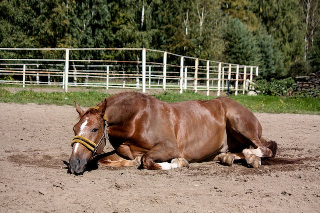 Caudal Epidural Anesthetic in Horses - Conditions Treated, Procedure, Efficacy, Recovery, Cost, Considerations, Prevention