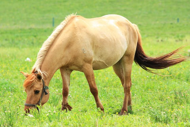 Ceratohyoidectomy in Horses - Conditions Treated, Procedure, Efficacy, Recovery, Cost, Considerations, Prevention