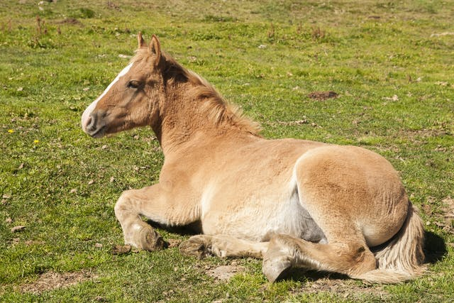 Cesarean Section in Horses - Conditions Treated, Procedure, Efficacy, Recovery, Cost, Considerations, Prevention