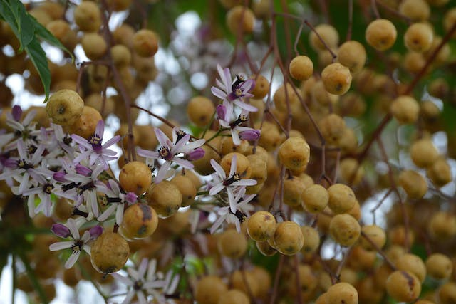 Chinaberry Tree Poisoning in Horses - Symptoms, Causes, Diagnosis, Treatment, Recovery, Management, Cost