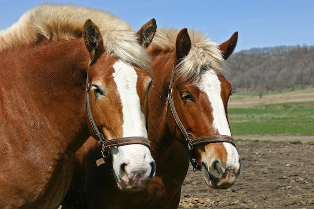 Cholecalciferol Poisoning in Horses - Symptoms, Causes, Diagnosis, Treatment, Recovery, Management, Cost