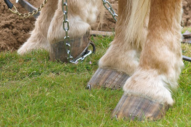 Chondromalacia of the Femoral Condyles in Horses - Symptoms, Causes, Diagnosis, Treatment, Recovery, Management, Cost
