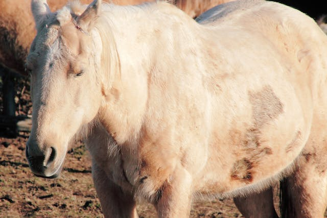 Chorioptic Mange in Horses - Symptoms, Causes, Diagnosis, Treatment, Recovery, Management, Cost