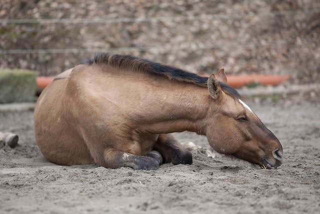 Chronic Obstructive Pulmonary Disease in Horses - Symptoms, Causes, Diagnosis, Treatment, Recovery, Management, Cost
