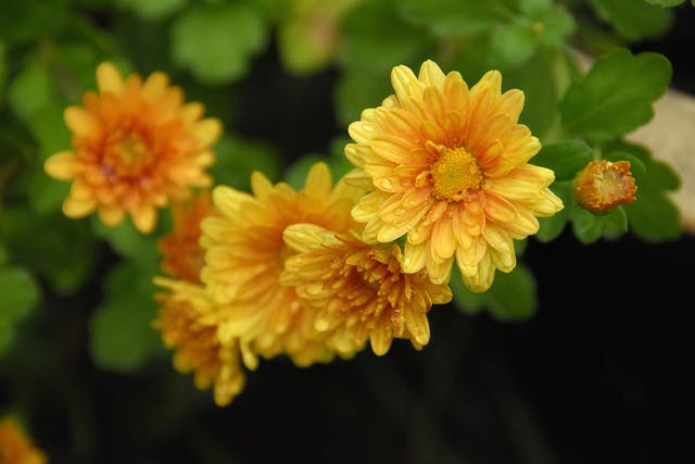 Chrysanthemum Poisoning in Horses - Symptoms, Causes, Diagnosis, Treatment, Recovery, Management, Cost