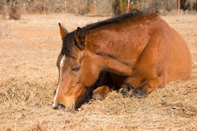 Clostridia-associated Enterocolitis in Horses - Symptoms, Causes, Diagnosis, Treatment, Recovery, Management, Cost