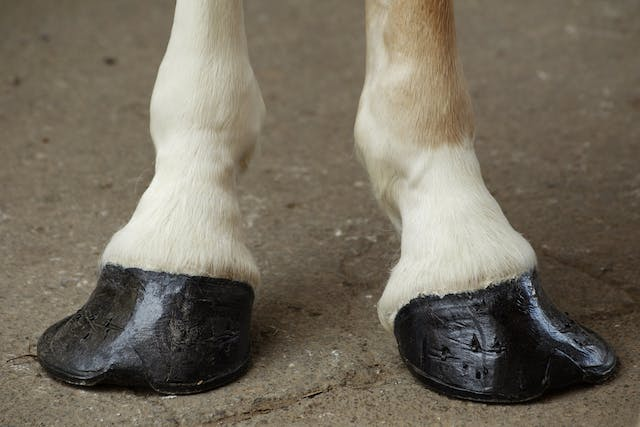 Club Foot in Horses - Symptoms, Causes, Diagnosis, Treatment, Recovery, Management, Cost