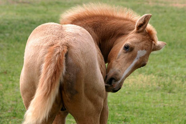 Coital Exanthema in Horses - Symptoms, Causes, Diagnosis, Treatment, Recovery, Management, Cost