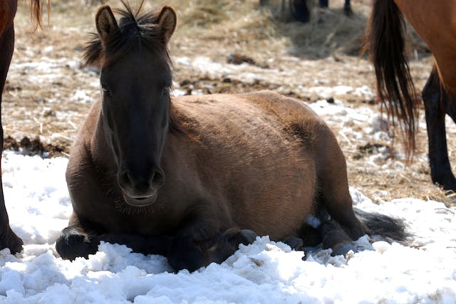 Cold Weather Colic in Horses - Symptoms, Causes, Diagnosis, Treatment, Recovery, Management, Cost