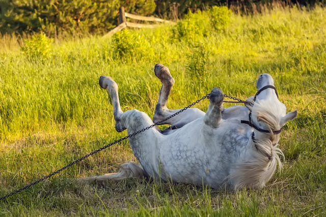 Colic in Horses - Symptoms, Causes, Diagnosis, Treatment, Recovery, Management, Cost