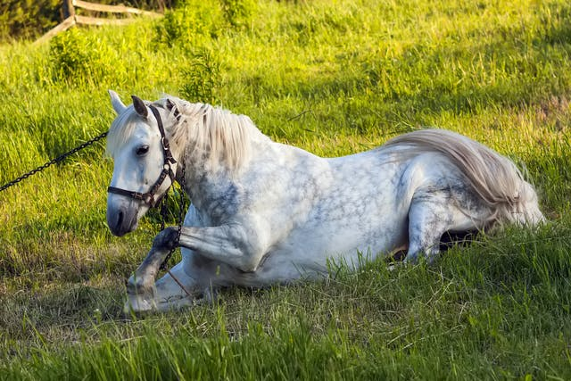 Combined Immunodeficiency Disease in Horses - Symptoms, Causes, Diagnosis, Treatment, Recovery, Management, Cost