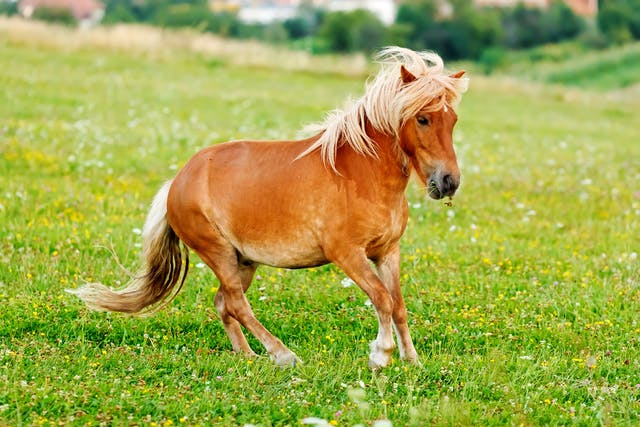 Contracted Tendons in Horses - Symptoms, Causes, Diagnosis, Treatment, Recovery, Management, Cost