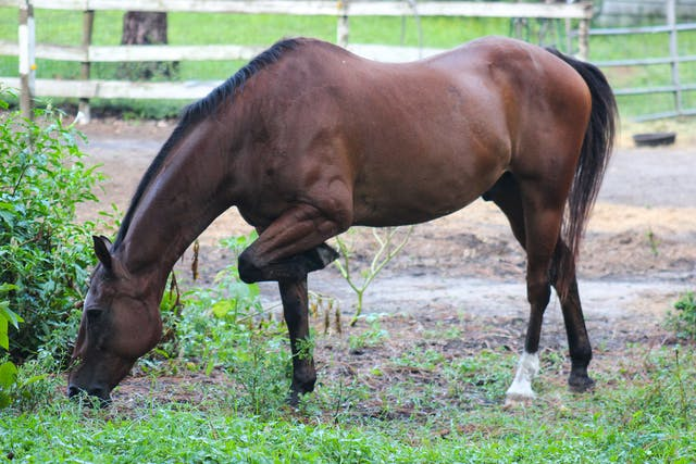 Coprophagia in Horses - Symptoms, Causes, Diagnosis, Treatment, Recovery, Management, Cost