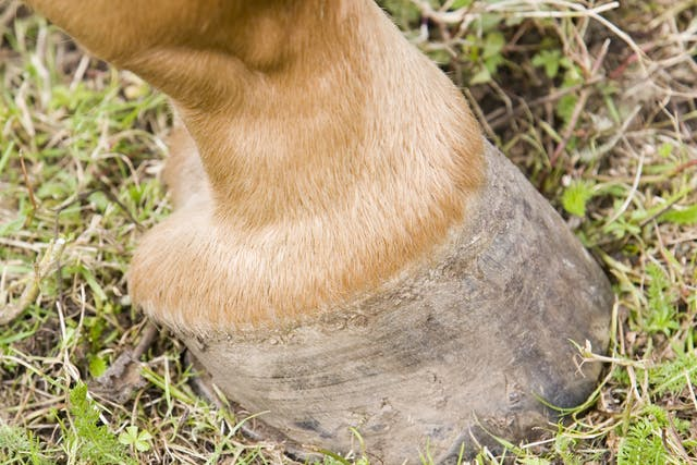 Corns in Horses - Symptoms, Causes, Diagnosis, Treatment, Recovery, Management, Cost